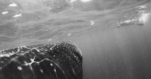 Misadventures With a Whale Shark